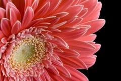 ροζ gergera μαργαριτών κινηματο&g Στοκ φωτογραφία με δικαίωμα ελεύθερης χρήσης