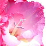 ροζ gladiolus λουλουδιών Στοκ φωτογραφία με δικαίωμα ελεύθερης χρήσης