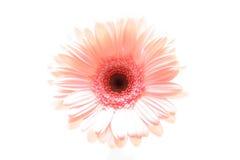 ροζ highkey μαργαριτών Στοκ Φωτογραφίες