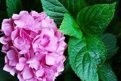 ροζ hydrangea λουλουδιών Στοκ Εικόνα