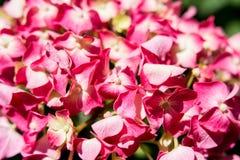 ροζ hydrangea λουλουδιών Στοκ φωτογραφία με δικαίωμα ελεύθερης χρήσης