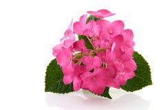 ροζ hydrangea Στοκ Φωτογραφία
