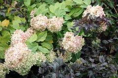 ροζ hydrangea στοκ εικόνα