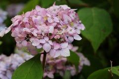 ροζ hydrangea Στοκ Εικόνες