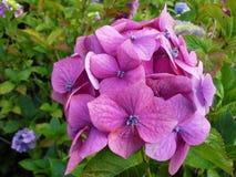 ροζ hydrangea Στοκ εικόνες με δικαίωμα ελεύθερης χρήσης