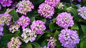 ροζ hydrangeas Στοκ φωτογραφίες με δικαίωμα ελεύθερης χρήσης