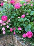 ροζ hydrangeas Στοκ Φωτογραφία