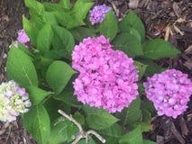 ροζ hydrangeas Στοκ εικόνες με δικαίωμα ελεύθερης χρήσης