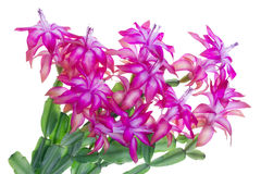 ροζ idoor λουλουδιών Στοκ φωτογραφία με δικαίωμα ελεύθερης χρήσης