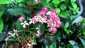 ροζ ixora λουλουδιών απόθεμα βίντεο
