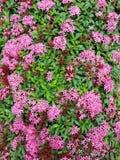 Ροζ Ixora Στοκ εικόνες με δικαίωμα ελεύθερης χρήσης