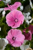 ροζ lavatera λουλουδιών Στοκ φωτογραφία με δικαίωμα ελεύθερης χρήσης