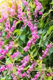 Ροζ leptopus Antigonon Στοκ Φωτογραφία