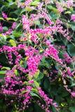 Ροζ leptopus Antigonon Στοκ φωτογραφία με δικαίωμα ελεύθερης χρήσης