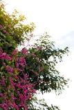 Ροζ leptopus Antigonon Στοκ φωτογραφίες με δικαίωμα ελεύθερης χρήσης