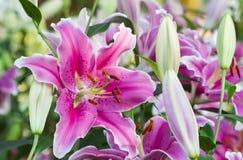 Ροζ lilly Στοκ εικόνα με δικαίωμα ελεύθερης χρήσης