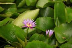 Ροζ Lotus Στοκ Εικόνες
