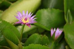Ροζ Lotus Στοκ Φωτογραφίες