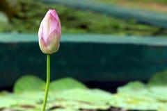 Ροζ Lotus Στοκ φωτογραφία με δικαίωμα ελεύθερης χρήσης