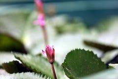 Ροζ Lotus Στοκ εικόνα με δικαίωμα ελεύθερης χρήσης
