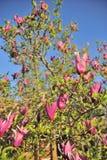 ροζ magnolia ανθών Στοκ Εικόνες