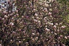 ροζ magnolia ανθών Στοκ εικόνα με δικαίωμα ελεύθερης χρήσης
