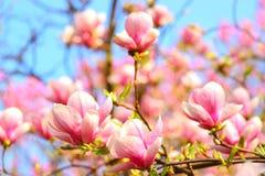ροζ magnolia λουλουδιών Στοκ εικόνα με δικαίωμα ελεύθερης χρήσης