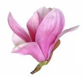 ροζ magnolia λουλουδιών Στοκ φωτογραφία με δικαίωμα ελεύθερης χρήσης