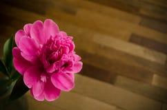 Ροζ peony πέρα από το πάτωμα Στοκ εικόνες με δικαίωμα ελεύθερης χρήσης