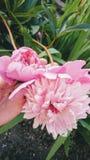 Ροζ peony στις αρχές του καλοκαιριού στον κήπο Στοκ Φωτογραφία