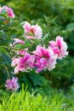 Ροζ peony στο θερινό κήπο Στοκ εικόνα με δικαίωμα ελεύθερης χρήσης