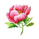 Ροζ peony στο μίσχο - ζωγραφική watercolor Στοκ Φωτογραφία