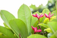 Ροζ Plumeria, Ταϊλάνδη Στοκ Φωτογραφία