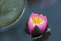 Ροζ waterlily στην μπλε λίμνη Στοκ Φωτογραφίες