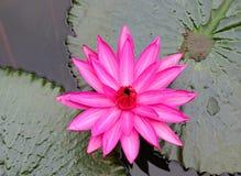ροζ waterlily Στοκ φωτογραφία με δικαίωμα ελεύθερης χρήσης