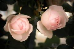 Ρομαντικά ρόδινα τριαντάφυλλα με τα φύλλα, εκλεκτής ποιότητας λουλούδια Στοκ φωτογραφία με δικαίωμα ελεύθερης χρήσης