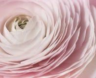 Ρομαντικά ρόδινα anemones στο υπόβαθρο κρητιδογραφιών Στοκ Φωτογραφίες