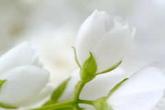Ρομαντική άσπρη κινηματογράφηση σε πρώτο πλάνο λουλουδιών της Jasmine Στοκ φωτογραφία με δικαίωμα ελεύθερης χρήσης