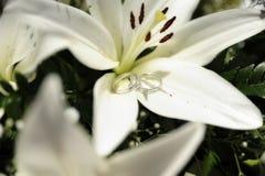 Ρομαντική οργάνωση με τα γαμήλια δαχτυλίδια που τίθενται στο μεγάλο άσπρο κρίνο στοκ φωτογραφία με δικαίωμα ελεύθερης χρήσης