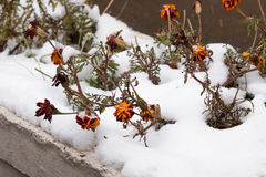 Ρομαντική χειμερινή εικόνα με παγωμένος flowerss κάτω από το πρώτο χιόνι Στοκ Φωτογραφίες
