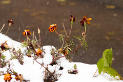 Ρομαντική χειμερινή εικόνα με παγωμένος flowerss κάτω από το πρώτο χιόνι Στοκ φωτογραφία με δικαίωμα ελεύθερης χρήσης