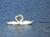 ρομαντικοί κύκνοι Στοκ εικόνα με δικαίωμα ελεύθερης χρήσης