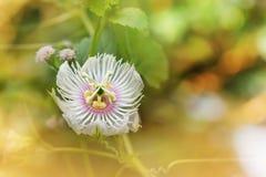 Ρομαντικό λουλούδι χλόης φύσης άσπρο άγριο, Passiflora στη μαλακή διάθεση Στοκ φωτογραφία με δικαίωμα ελεύθερης χρήσης