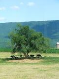 δροσερές αγελάδες Στοκ Εικόνες