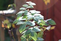 δροσιά στα ροδαλά φύλλα Στοκ Εικόνα
