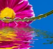 δροσοσκέπαστο λουλού& Στοκ φωτογραφίες με δικαίωμα ελεύθερης χρήσης