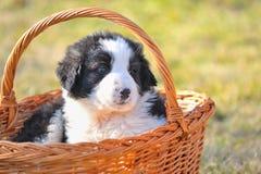 ρουμανικός ποιμένας σκυλιών Στοκ εικόνα με δικαίωμα ελεύθερης χρήσης