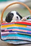 ρουμανικός ποιμένας σκυλιών Στοκ φωτογραφίες με δικαίωμα ελεύθερης χρήσης