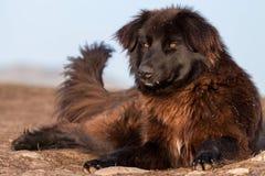 ρουμανικός ποιμένας σκυ&l Στοκ Εικόνες