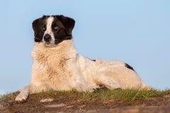 ρουμανικός ποιμένας σκυ&l Στοκ εικόνα με δικαίωμα ελεύθερης χρήσης